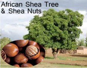 African Shea Tree and Shea Nuts
